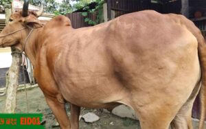 cow for qurbani